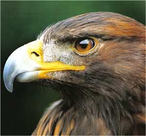 Animale Acvila regala modul de viata si caracteristicile lui animal .com .ro
