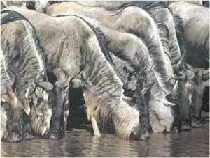 Animale Antilopa GNU modul de viata si caracteristicile lui animal .com .ro