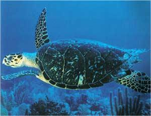 Animale Broasca testoasa marina modul de viata si caracteristicile lui animal .com .ro