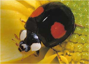 Animale Buburuza modul de viata si caracteristicile lui animal .com .ro