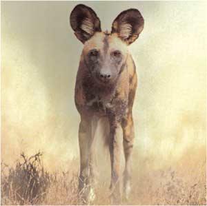 Animale Cainele hiena modul de viata si caracteristicile lui animal .com .ro