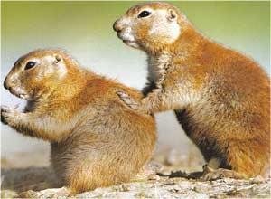 Animale Cainele preriilor modul de viata si caracteristicile lui animal .com .ro