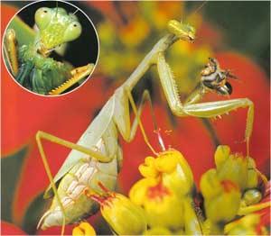 Animale Calugarita modul de viata si caracteristicile lui animal .com .ro