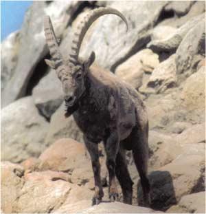 Animale Capra ibex modul de viata si caracteristicile lui animal .com .ro