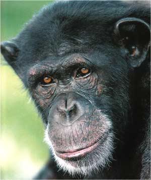 Animale Cimpanzeul modul de viata si caracteristicile lui animal .com .ro