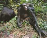 Poze cu Cimpanzeul