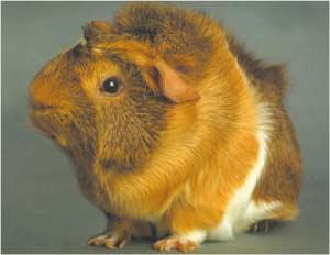 Animale Cobaiul modul de viata si caracteristicile lui animal .com .ro