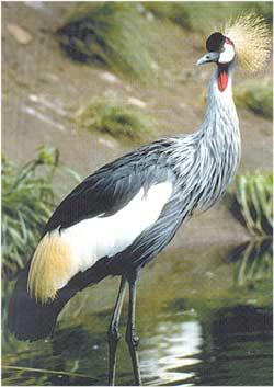 Animale Cocorul modul de viata si caracteristicile lui animal .com .ro
