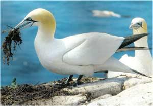 Animale Corbul de mare alb modul de viata si caracteristicile lui animal .com .ro