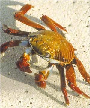 Animale Crabul modul de viata si caracteristicile lui animal .com .ro