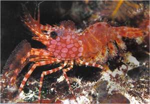 Animale Creveta modul de viata si caracteristicile lui animal .com .ro