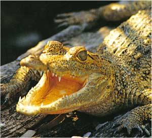 Animale Crocodilul modul de viata si caracteristicile lui animal .com .ro