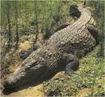 Poze cu Crocodilul