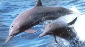 Animale Delfinul modul de viata si caracteristicile lui animal .com .ro
