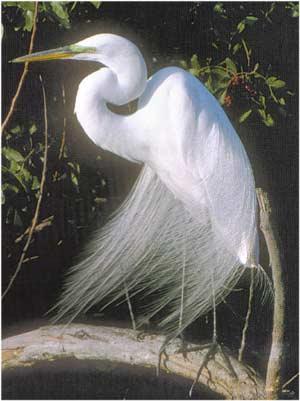Animale Egreta de mare modul de viata si caracteristicile lui animal .com .ro