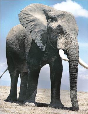 Animale Elefantul modul de viata si caracteristicile lui animal .com .ro