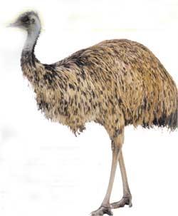 Animale Emu modul de viata si caracteristicile lui animal .com .ro
