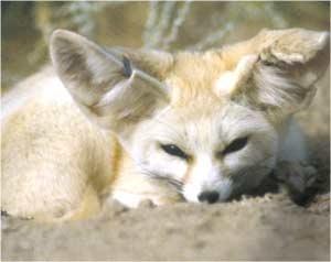 Animale Fenecul modul de viata si caracteristicile lui animal .com .ro