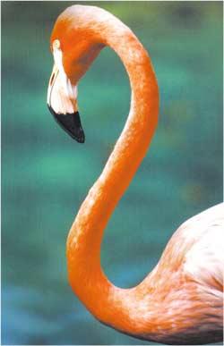 Animale Flamingoul roz modul de viata si caracteristicile lui animal .com .ro