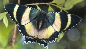 Animale Fluturele modul de viata si caracteristicile lui animal .com .ro
