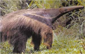 Animale Furnicarul modul de viata si caracteristicile lui animal .com .ro
