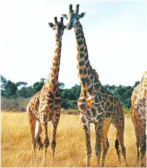 Animale Girafa modul de viata si caracteristicile lui animal .com .ro