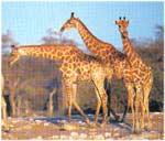 Poze Girafa