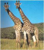 Imagini colorate Girafa