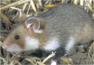 Animale Hamsterul modul de viata si caracteristicile lui animal .com .ro