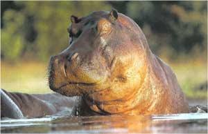 Animale Hipopotamul modul de viata si caracteristicile lui animal .com .ro