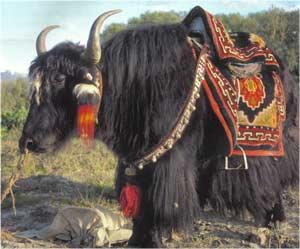 Animale Iacul modul de viata si caracteristicile lui animal .com .ro