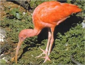 Animale Ibisul - pasari frumoase modul de viata si caracteristicile lui animal .com .ro