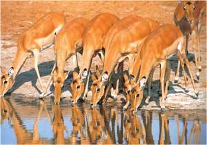 Animale Impala modul de viata si caracteristicile lui animal .com .ro