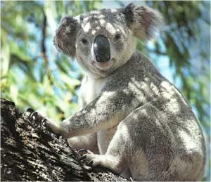 Animale Koala modul de viata si caracteristicile lui animal .com .ro