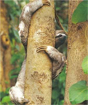 Animale Lenesul modul de viata si caracteristicile lui animal .com .ro