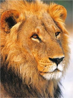 Animale Leul modul de viata si caracteristicile lui animal .com .ro