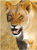 Poze Leul