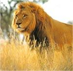 Imagini colorate Leul
