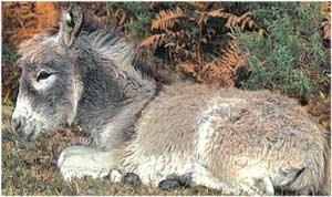 Animale Magarul modul de viata si caracteristicile lui animal .com .ro