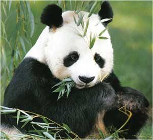 Animale Marele panda modul de viata si caracteristicile lui animal .com .ro