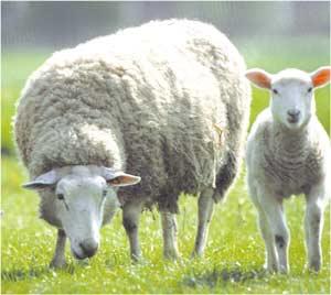 Animale Oaia modul de viata si caracteristicile lui animal .com .ro