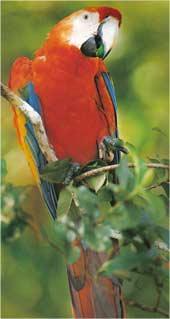Animale Papagalul modul de viata si caracteristicile lui animal .com .ro