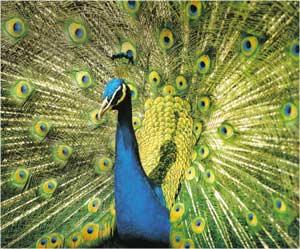 Animale Paunul modul de viata si caracteristicile lui animal .com .ro