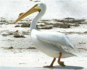 Animale Pelicanul modul de viata si caracteristicile lui animal .com .ro
