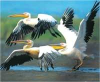 Poze cu Pelicanul