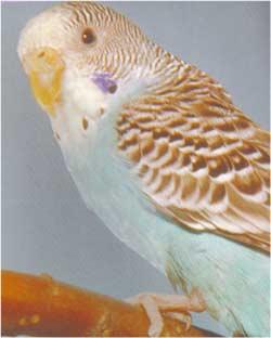 Animale Perusul - papagalul modul de viata si caracteristicile lui animal .com .ro