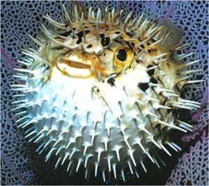 Animale Pestele arici modul de viata si caracteristicile lui animal .com .ro