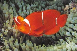 Animale Pestele clovn nemo modul de viata si caracteristicile lui animal .com .ro