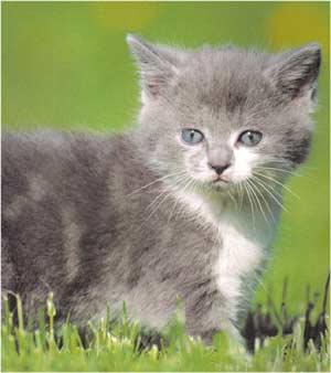 Animale Pisica - animale de casa pisicile modul de viata si caracteristicile lui animal .com .ro