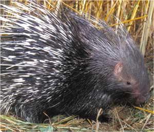 Animale Porcul spinos modul de viata si caracteristicile lui animal .com .ro